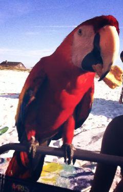 beach parrot