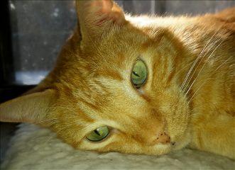 housecat marmeladecat catnap