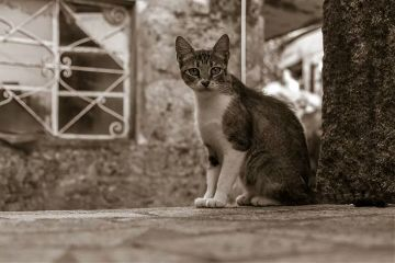 photography sepia cat