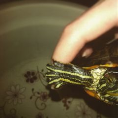 animal turtle